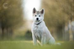 Isabel van Veen Fotografie-Shoots-Hondenshoot-hondenfotografie-hond-akita-puppy (19)