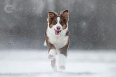 Isabel van Veen Fotografie-Shoots-Hondenshoot-hondenfotografie-hond-australischeherder (12)