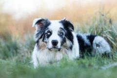 Isabel van Veen Fotografie-Shoots-Hondenshoot-hondenfotografie-hond-australischeherder-bluemerle (10)