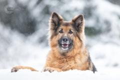 Isabel van Veen Fotografie-Shoots-Hondenshoot-hondenfotografie-hond-duitseherder-herdershond-sneeuw-winter (14)