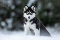 Isabel van Veen Fotografie-Shoots-Hondenshoot-hondenfotografie-hond-husky-puppy-sneeuw-winter (15)
