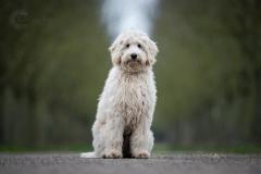 Isabel van Veen Fotografie-Shoots-Hondenshoot-hondenfotografie-hond-labradoodle (1)