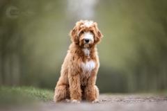 Isabel van Veen Fotografie-Shoots-Hondenshoot-hondenfotografie-hond-labradoodle (11)