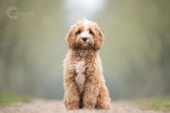 Isabel van Veen Fotografie-Shoots-Hondenshoot-hondenfotografie-hond-labradoodle-puppy-bomen (18)