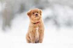 Isabel van Veen Fotografie-Shoots-Hondenshoot-hondenfotografie-hond-novascotiaducktollingretriever-puppy-sneeuw-winter (13)