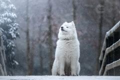 Isabel van Veen Fotografie-Shoots-Hondenshoot-hondenfotografie-hond-samojeed-sneeuw-winter (9)
