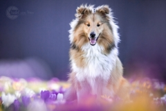 Isabel van Veen Fotografie-Shoots-Hondenshoot-hondenfotografie-hond-sheltie-puppy-krokussen-bloemen-lente-paars (17)
