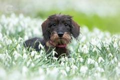 Isabel van Veen Fotografie-Shoots-Hondenshoot-hondenfotografie-hond-teckel-puppy-sneeuwklokjes-bloemen-lente (16)