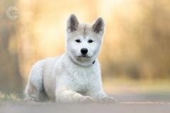 Isabel van Veen Fotografie-Portfolio-Huisdier-hond-hondenshoot-akita-puppy (14)
