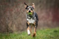 Isabel van Veen Fotografie-Portfolio-Huisdier-hond-hondenshoot-australischeherder-appenzellersennenhond (3)