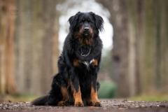 Isabel van Veen Fotografie-Portfolio-Huisdier-hond-hondenshoot-bernersennen-herdershond (7.2)