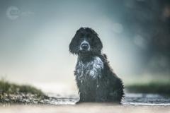 Isabel van Veen Fotografie-Portfolio-Huisdier-hond-hondenshoot-cockerspaniel-puppy (9)
