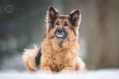Isabel van Veen Fotografie-Portfolio-Huisdier-hond-hondenshoot-duitseherder-herdershond-sneeuw-winter (10)
