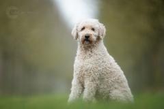 Isabel van Veen Fotografie-Portfolio-Huisdier-hond-hondenshoot-goldendoodle (5.2)