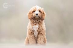 Isabel van Veen Fotografie-Portfolio-Huisdier-hond-hondenshoot-labradoodle-puppy (13)