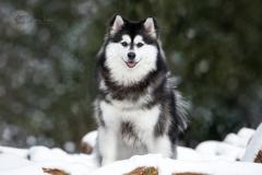 Isabel van Veen Fotografie-Portfolio-Huisdier-hond-hondenshoot-pomsky-sneeuw-winter (11)