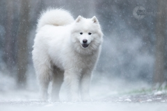 Isabel van Veen Fotografie-Portfolio-Huisdier-hond-hondenshoot-samojeed (8)