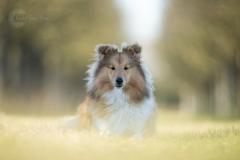 Isabel van Veen Fotografie-Portfolio-Huisdier-hond-hondenshoot-sheltie-puppy (12)