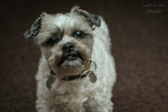 IsabelvanVeen-Portfolio-Huisdier-hond-shitzu (1)