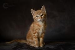 IsabelvanVeenFotografie-Portfolio-huisdier-huisdierfotografie-kat-poes-kitten-rodekater