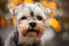 IsabelvanVeenFotografie-portfolio-huisdier-huisdierfotografie-hond-yorki-malteser-kerst-bokeh-lichtjes-kerstboom