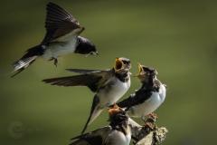 Isabel van Veen Fotografie-Portfolio-Natuurfotografie-natuur-boerenzwaluw-zwaluw (8)