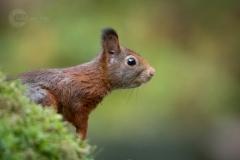 Isabel van Veen Fotografie-Portfolio-Natuurfotografie-natuur-eekhoorn (18)