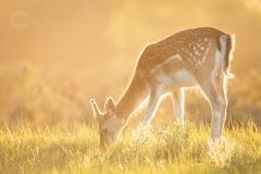 Isabel van Veen Fotografie-Portfolio-Natuurfotografie-natuur-hert-zonsondergang (17)