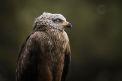 Isabel van Veen Fotografie-Portfolio-Natuurfotografie-natuur-roofvogel-dierentuin (5)