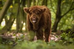 Isabel van Veen Fotografie-Portfolio-Natuurfotografie-natuur-schotse-hooglander (10)
