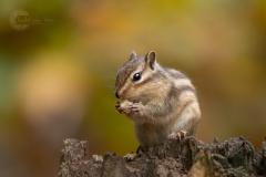 Isabel van Veen Fotografie-Portfolio-Natuurfotografie-natuur-siberische-grondeekhoorn (16)