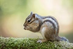 Isabel van Veen Fotografie-Portfolio-Natuurfotografie-natuur-siberische-grondeekhoorn (20)