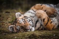 Isabel van Veen Fotografie-Portfolio-Natuurfotografie-natuur-tijger-dierentuin (4)