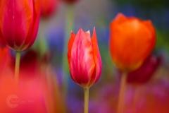 Isabel van Veen Fotografie-Portfolio-Natuurfotografie-natuur-tulpen-keukenhof (3)