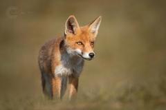 Isabel van Veen Fotografie-Portfolio-Natuurfotografie-natuur-vos-welp-wildlife (24)
