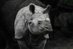 IsabelvanVeen-Portfolio-Natuur-neushoorn (40)