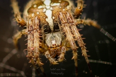 IsabelvanVeen-Portfolio-Natuur-spin-kruisspin-insect-macro (75)